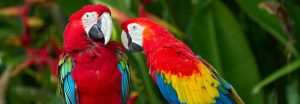 Red Macaws Together